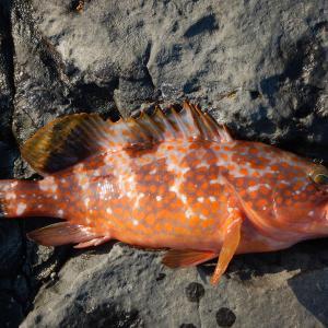 鳶の視力はものすごい!魚釣りどころではない磯の上。ここは確か佐賀県の磯であった。