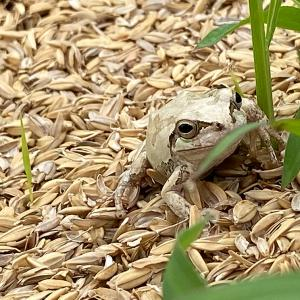 幸運を呼ぶ白い蛙。このブログを見た方にはきっと幸運が訪れる?