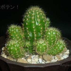 カマエロビビア属Aは断水明けでもすぐ生長するサボテン【3コマgif ダイソー】