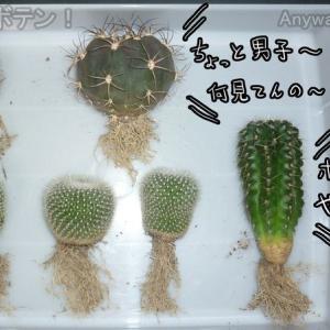 サボテンの植え替えだョ!全員集合!害虫対策、ダイソーサボテンもいるョ!