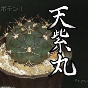 天紫丸Aの根の様子と植え替えついでにネジラミ対策【サボテン ギムノカリキウム属】