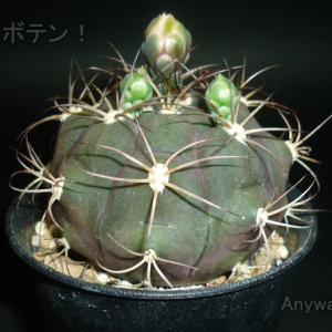天紫丸A 花芽の生長!そもそも花芽って何?