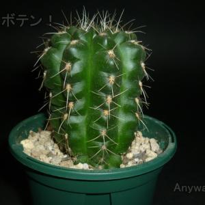 徒長した緋花玉Aは順調に育ってます。
