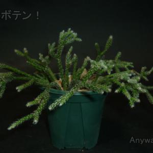 【リプサリス属 ピロカルパ】  窓辺でオシャレに育てられる森林性サボテン【ウチのサボ】