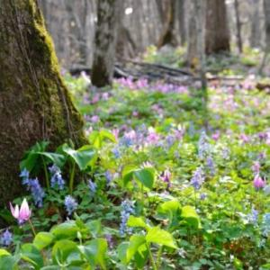 「カタクリの原生地、ほぼ1か月間しか開園されない男山自然公園~北海道」