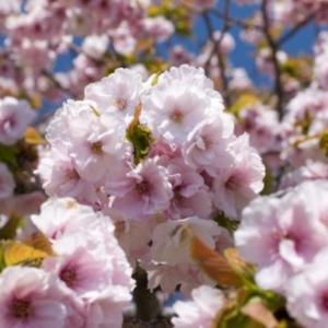 「1万本の桜が咲く松前さくらまつり~北海道」