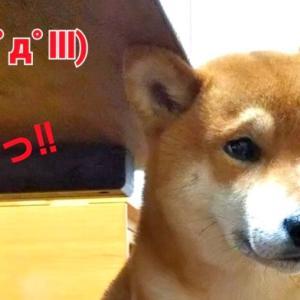 柴犬日記 (vol.197)