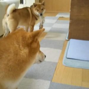 柴犬日記 (vol.222)変わらぬお二人さん