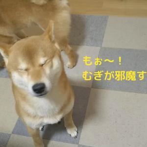 「陣取り合戦!」柴犬日記 (vol.293)