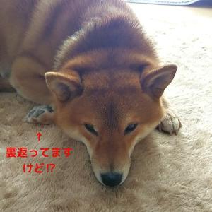 「寝相」柴犬日記 (vol.314)