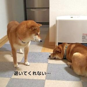 「リクの嘆き」柴犬日記 (vol.315)