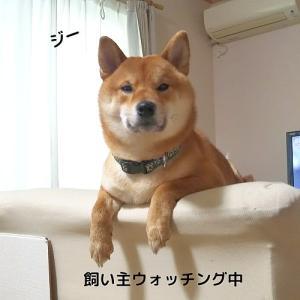 「やればできる子!!」柴犬日記 (vol.316)