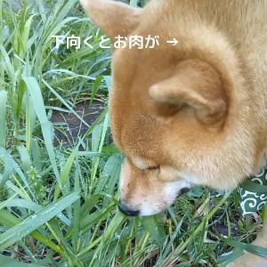「モグラ―」柴犬日記 (vol.321)