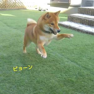 「食後の運動」柴犬日記 (vol.323)