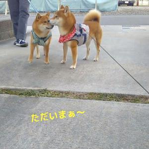 「心の狭さ…」柴犬日記 (vol.324)