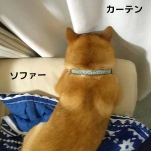 柴犬日記 (vol.356)