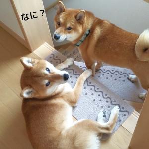 柴犬日記 (vol.361)