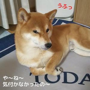 柴犬日記 (vol.362)