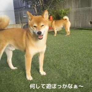 柴犬日記 (vol.391)