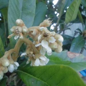 露地奥のひっそり立ちし枇杷の花