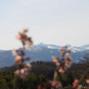 不思議にもこんなところに寒桜