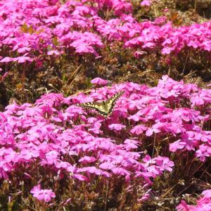 ひと気なき花の名所の芝桜