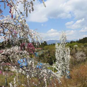 雪嶺と競ふがごとし花の桃