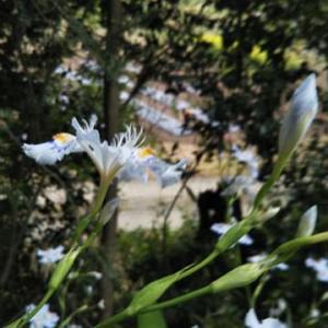 著莪の花咲いて故人の墓詣