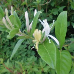 いつしかに忍び寄り咲く金銀花
