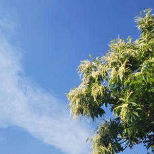 咲初めの匂い強烈栗の花