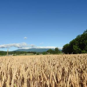 麦秋の広がる景色しろい家
