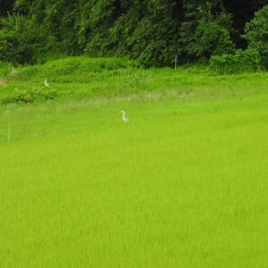 白鷺のたがいに見合う田んぼかな