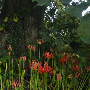 咲き初めのそこは日陰よ曼珠沙華