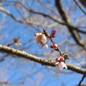 ひと気なく鳥も飛ばずに寒桜