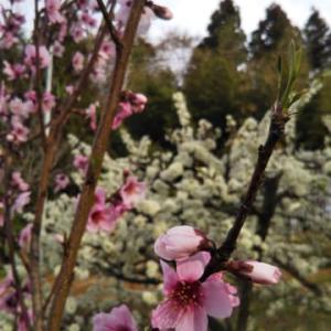 なしりんご桃の花咲く花万朶