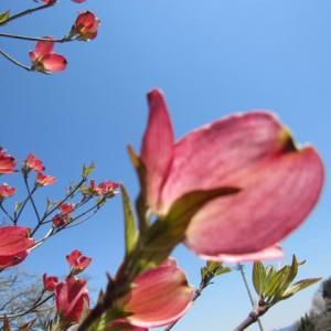 花水木狙い通りにそまる空