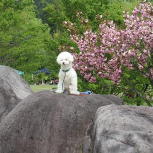 八重桜今日の友達みーつけた!