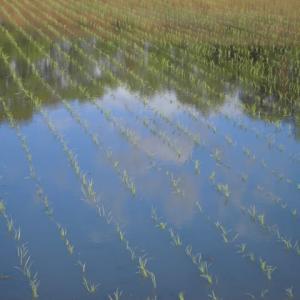 田植えして広がるみどり米どころ
