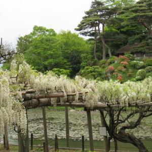 城山の智恵子生家の藤の花