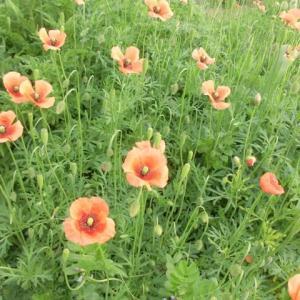口遊む赤く咲くのは罌粟の花