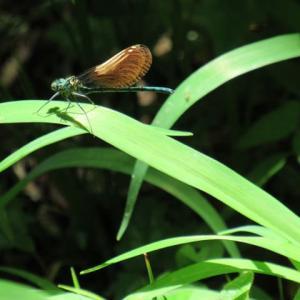 渓流の音のかろやか川蜻蛉
