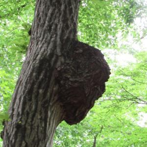 眼まといのうるさかろうに人面樹