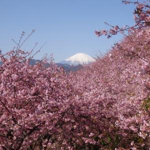 御殿場線で梅、河津桜、富士山