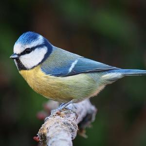 イギリスの野鳥
