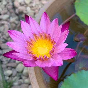 このままスイレン ふたつ目の花が咲いた