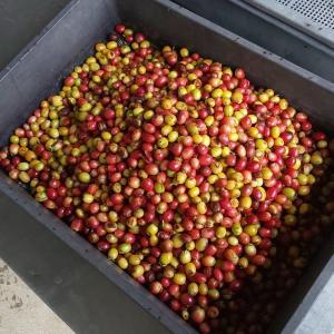 【沖縄県産コーヒー】大宜味村でコーヒー農園カフェをつくる  ~2019年10月~