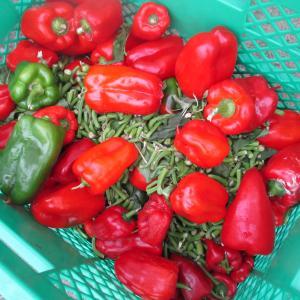沖縄県産ピーマン!完熟の赤いピーマンを丸かじり。ピーマン収穫を体験する|2021年 旅行記その31