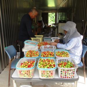 沖縄アセローラの収穫と選別作業をお手伝いしてきた | 2021年 旅行記その43