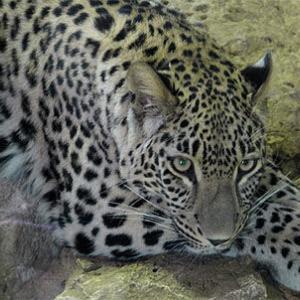 うまい英語表現 - 豹は斑点を変えられない