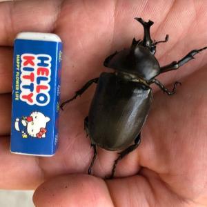 全長4.2cmミニチュアカブトムシ続々誕生!
